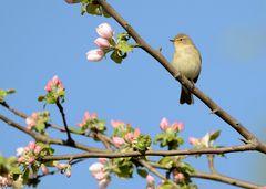 Apfelbaum-Blütenknospen