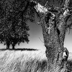 Apfelbaum im Getreide