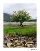 Apfelbaum in Applecross??