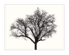 Apfelbaum mit Falke