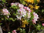Apfelbaum zu seiner Blütezeit