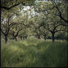 Apfelbaumallee