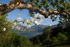 Apfelbaumblüte...