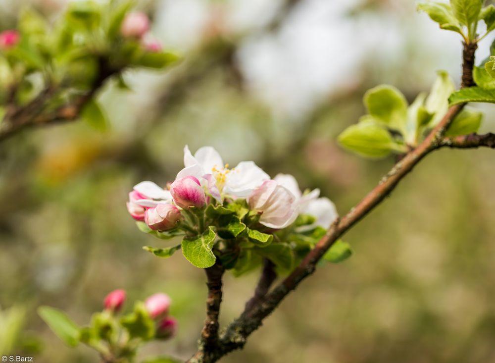 Apfelbaumblüte (1)
