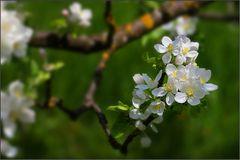 ~ Apfelbaumblüte II ~