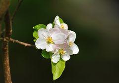 Apfelbaumblüte II