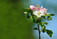 Apfelbaumblüte III