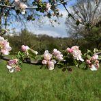 Apfelbaumblüten in den Streuobstwiesen