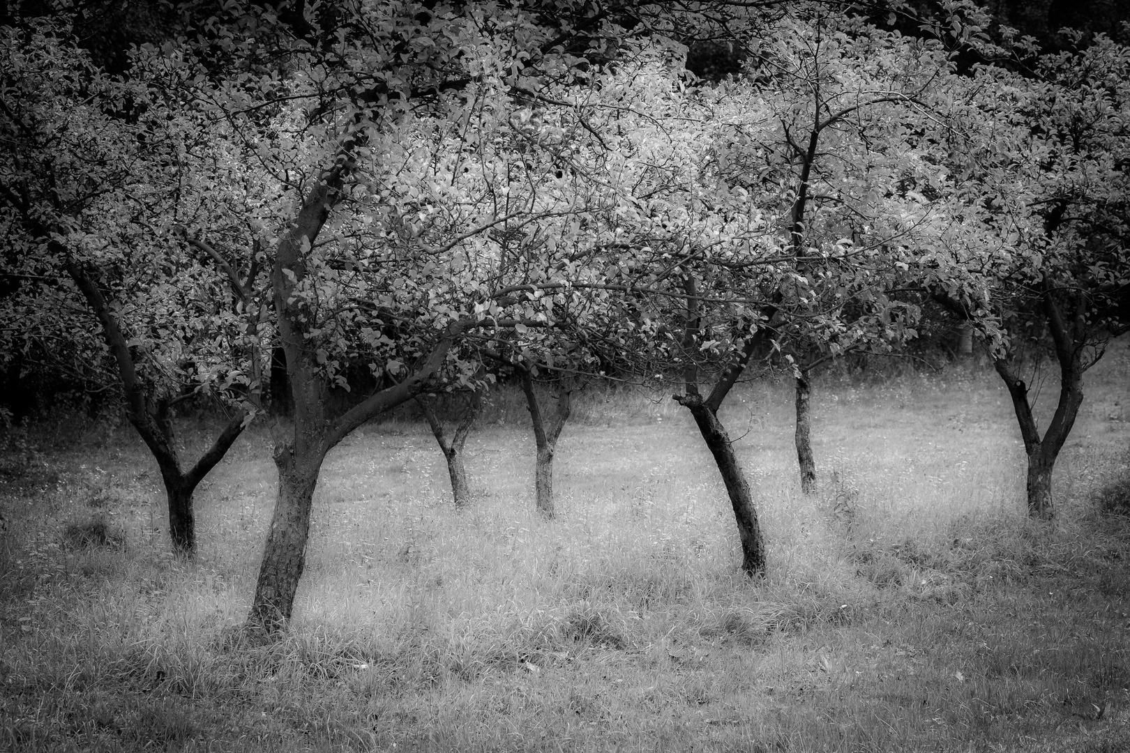 Apfelbaumgarten, Doberschau-Gaußig , Naundorfer strasse - Sachsen.