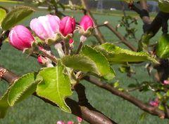 Apfelblühte 2