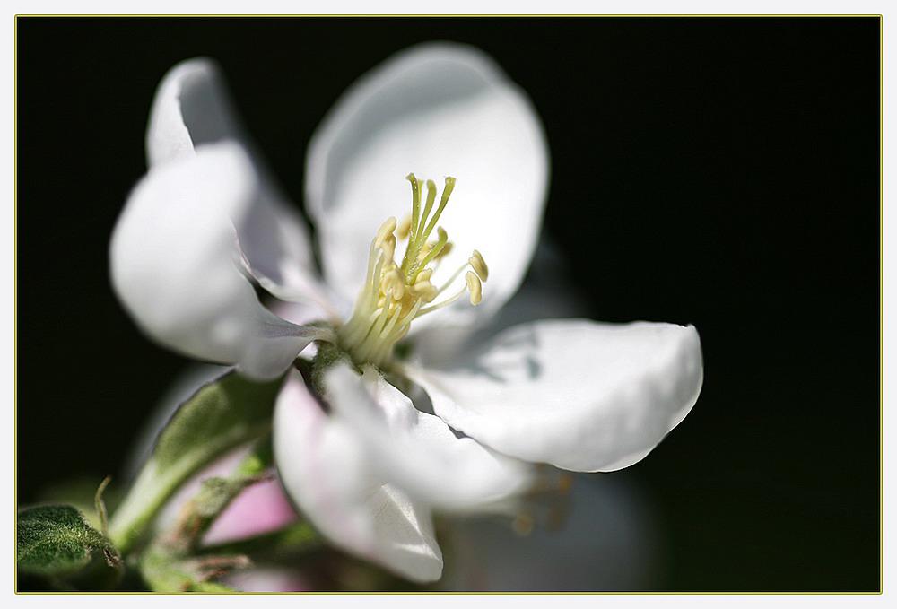 Apfelblühte