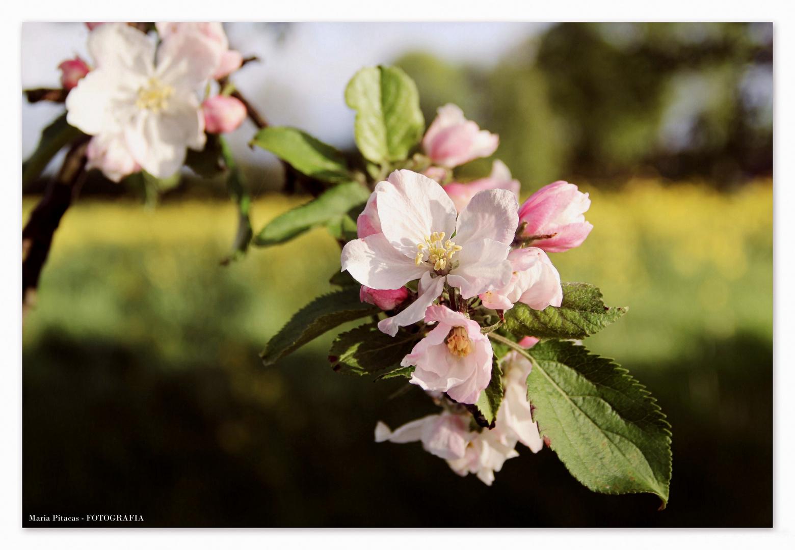 ~ Apfelblüte ~