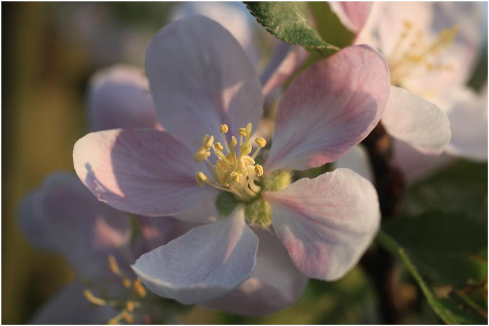 Apfelblüte 22.04.2011