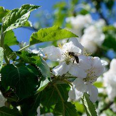 Apfelblüte 3