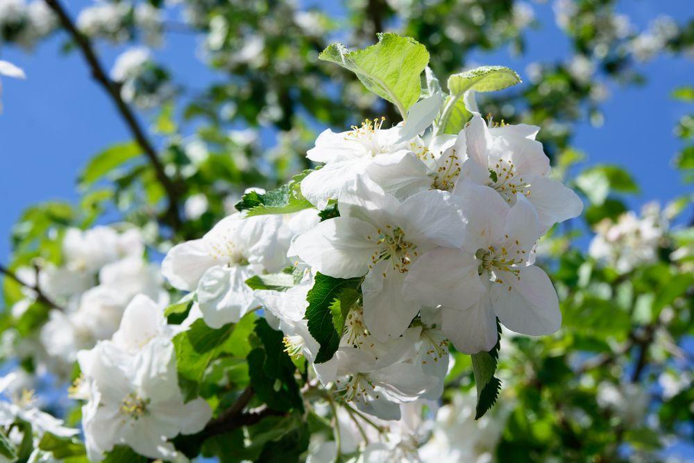 Apfelblüte 4
