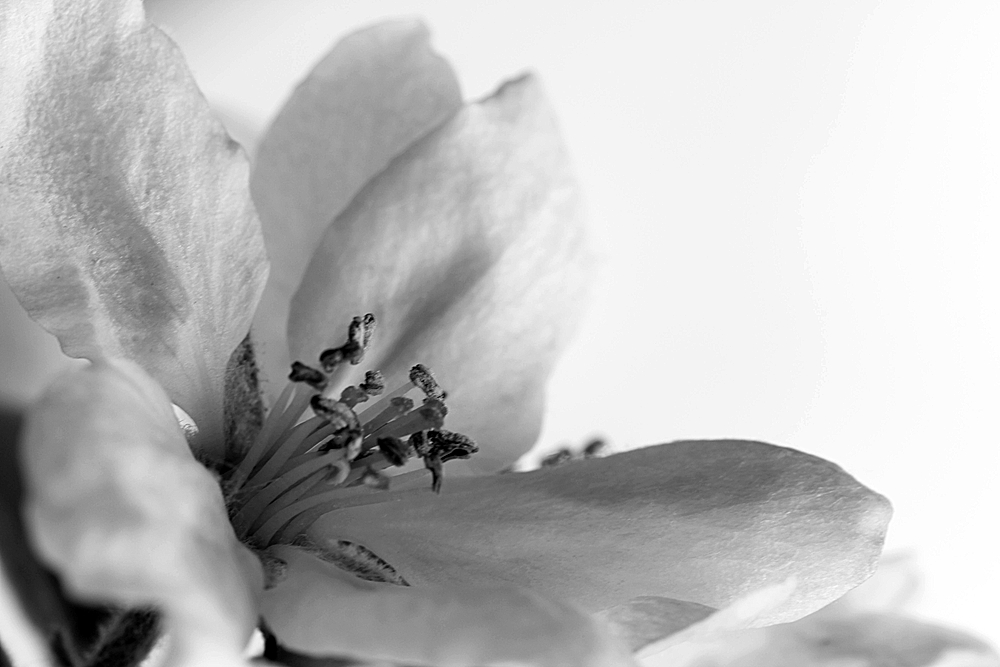 *Apfelblüte*