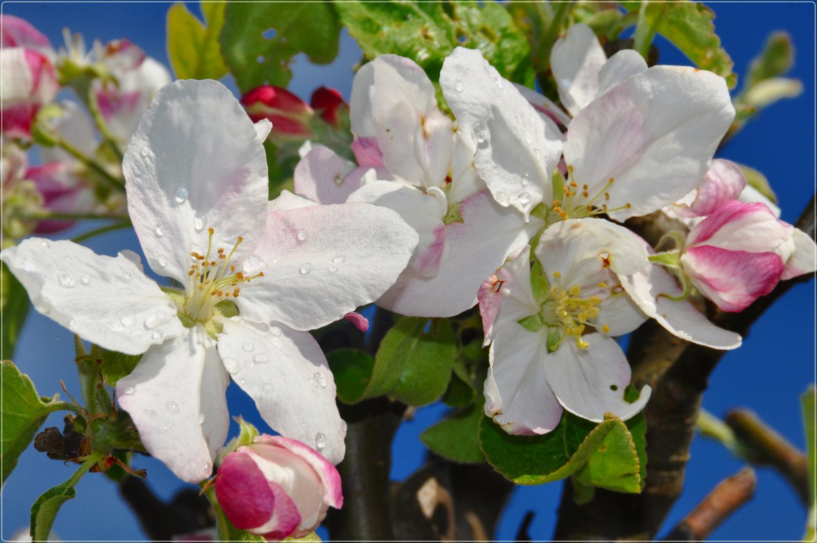 Apfelblüte !