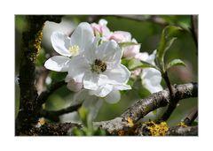 ~~ Apfelblüte ~~