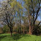 Apfelblüte am Fluss