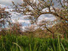 Apfelblüte auf dem Natursteig Sieg
