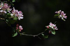 Apfelblüte?!