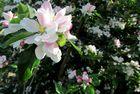 Apfelblüte ...
