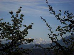 Apfelblüte, Eiger, Mönch, Jungfrau