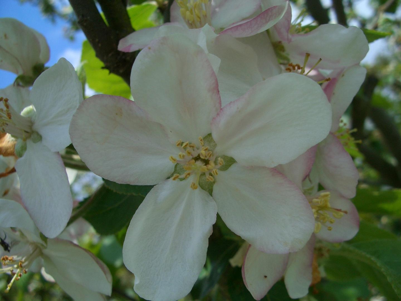 Apfelblüte, hoffentlich gibt es bald schöne saftige Äpfel