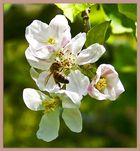 Apfelblüte II..
