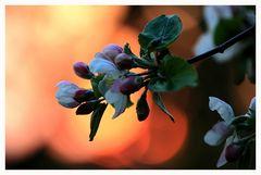 Apfelblüte im Abendlicht