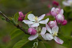 Apfelblüte im April...