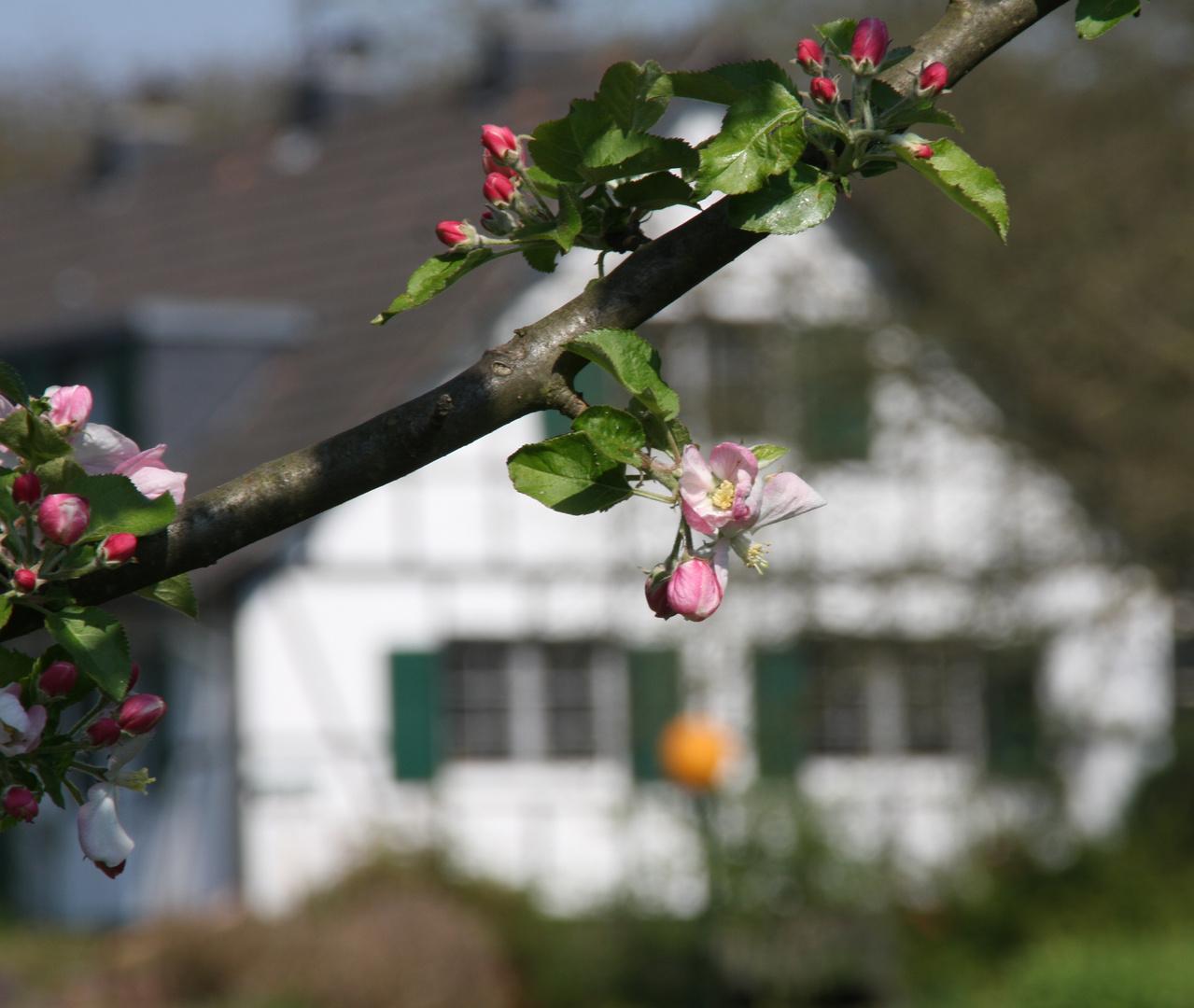 Apfelblüte im Bergischen Land
