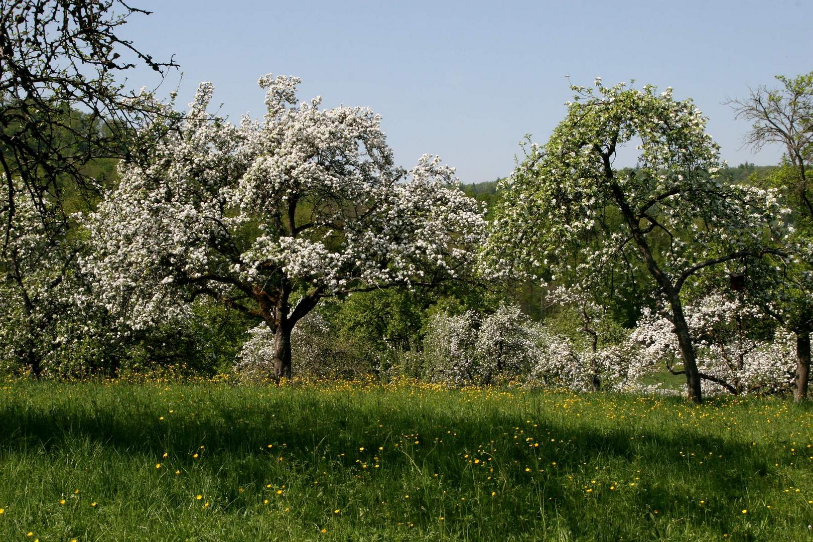 Apfelblüte im Schwäbischen