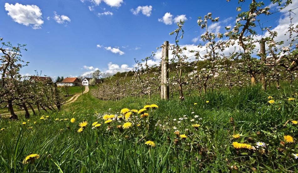 Apfelblüte im steirischen Apfelland ...