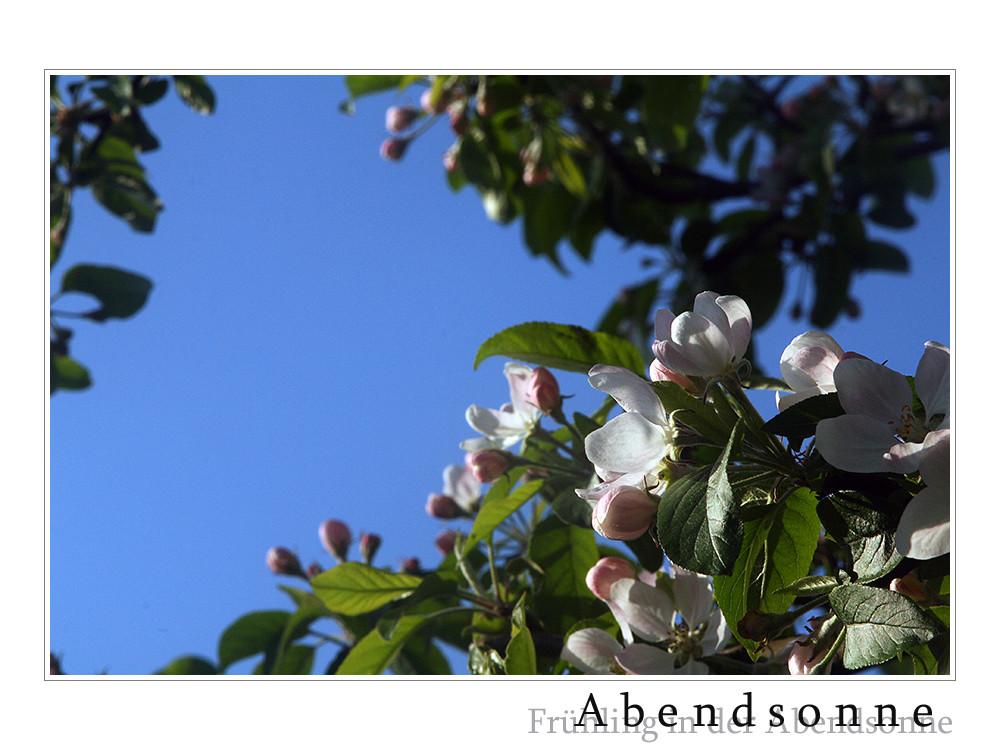 Apfelblüte in der Abendsonne