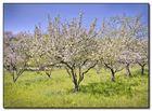 Apfelblüte in der Südsteiermark