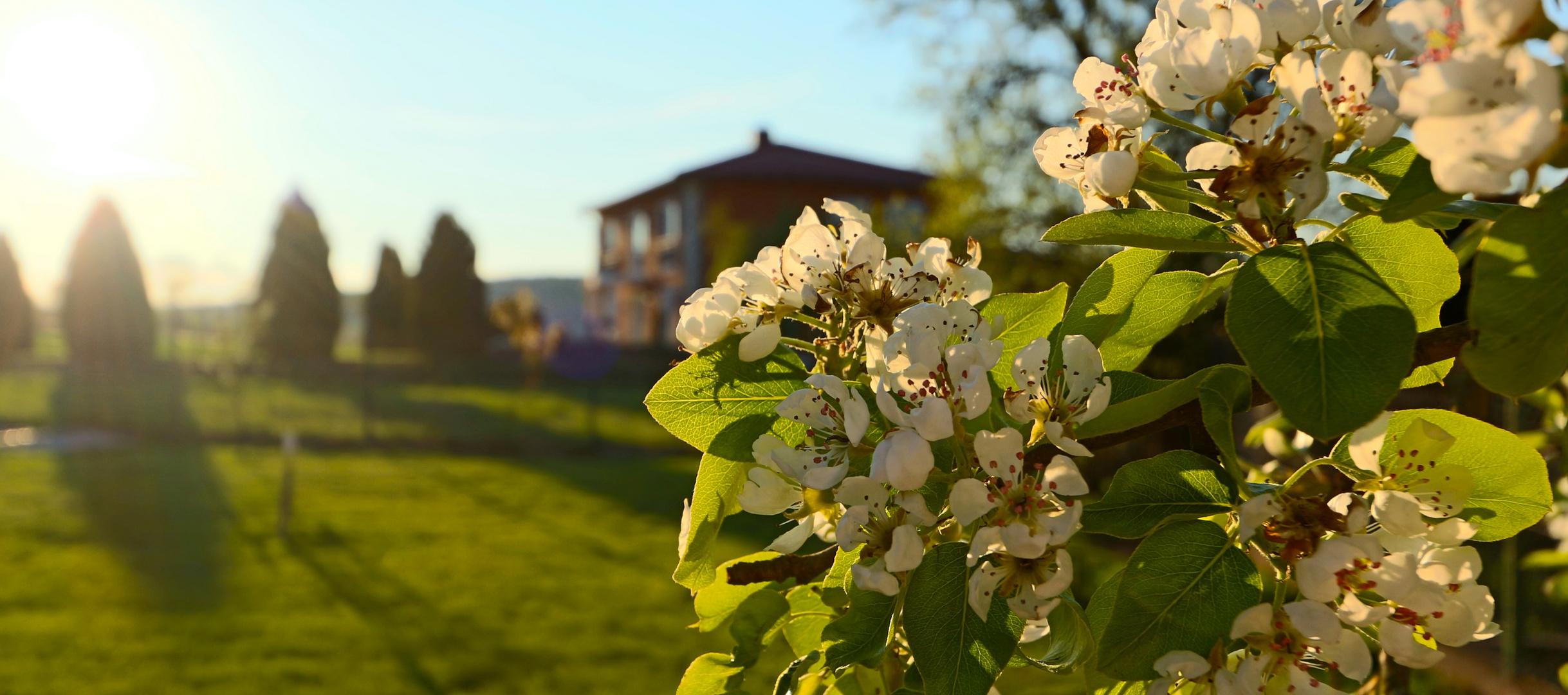 Apfelblüte in der Toskana