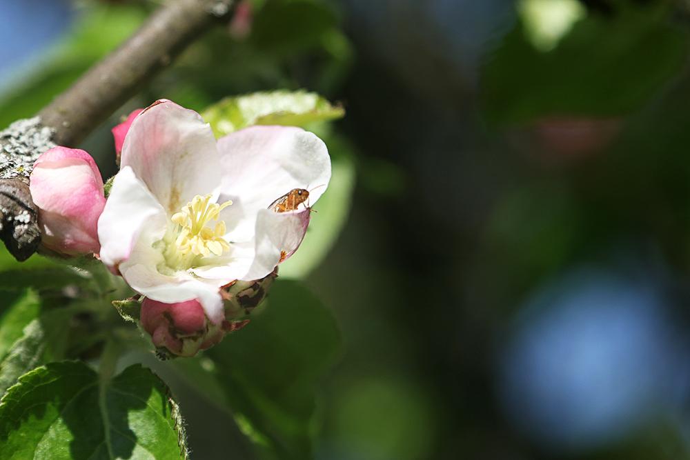 Apfelblüte mit Gast