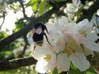 Apfelblüte mit Hummel