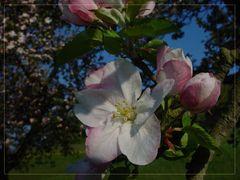Apfelblüte mit Rahmen im Morgenlicht