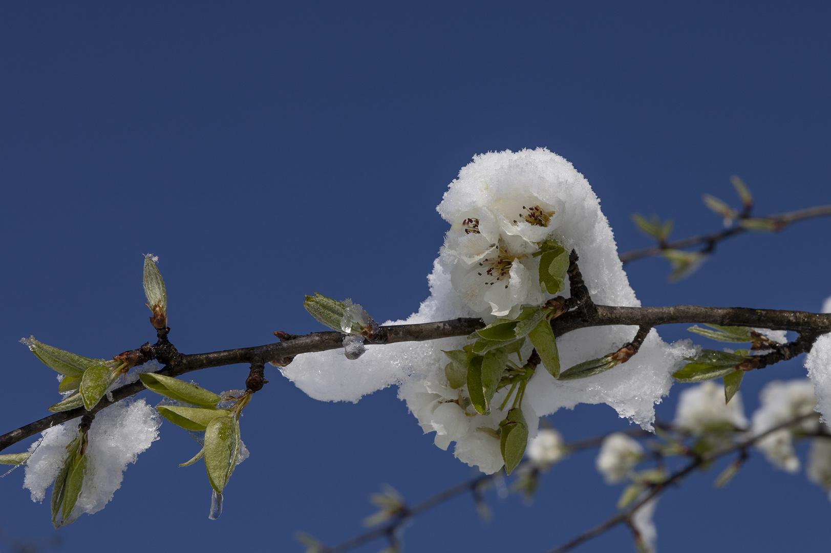 Apfelblüte mit Schneehaube