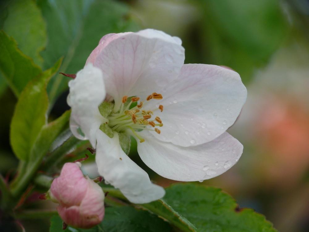 Apfelblüte nach dem Regen