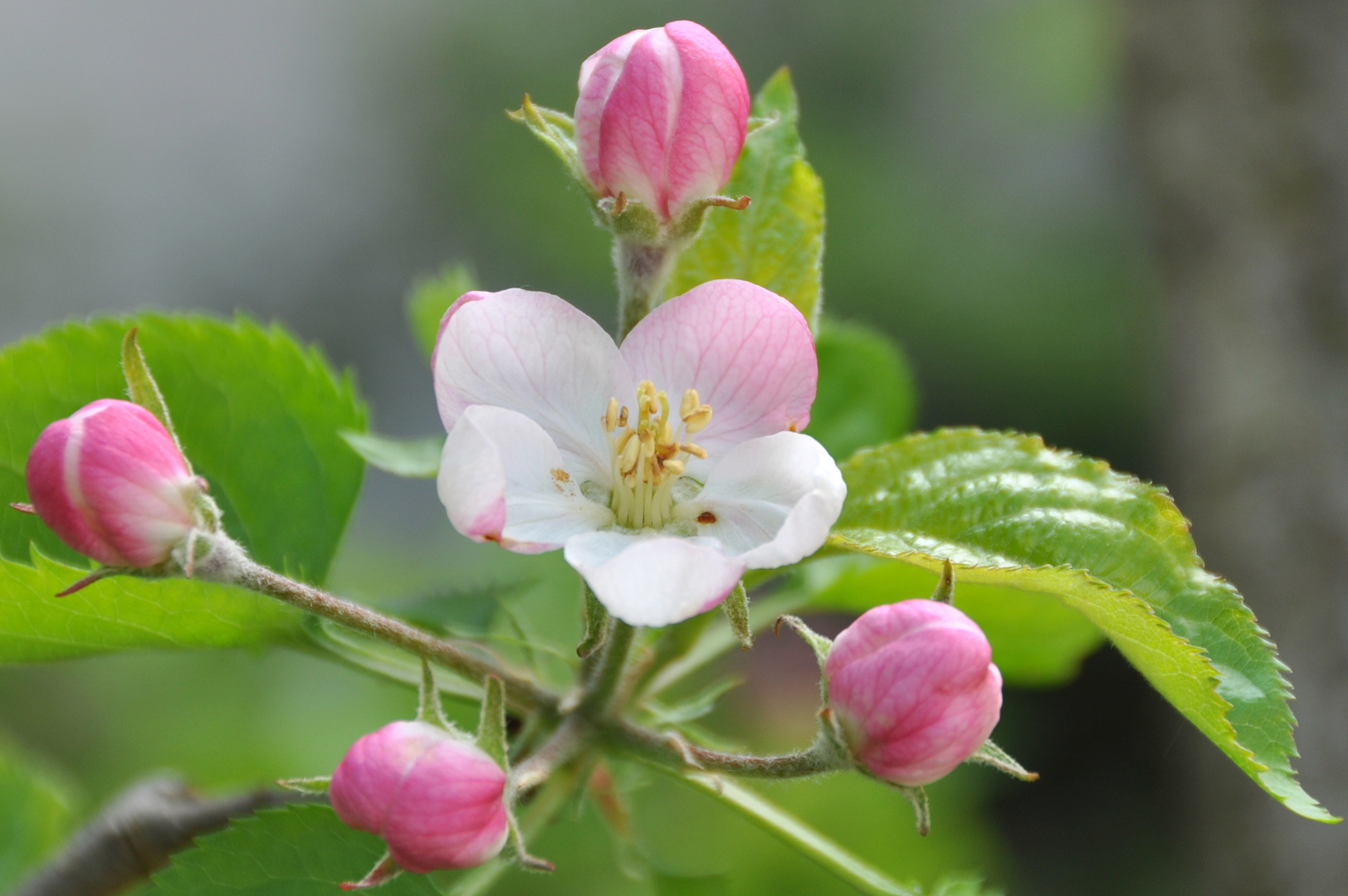 Apfelblüte ohne Rand :-)