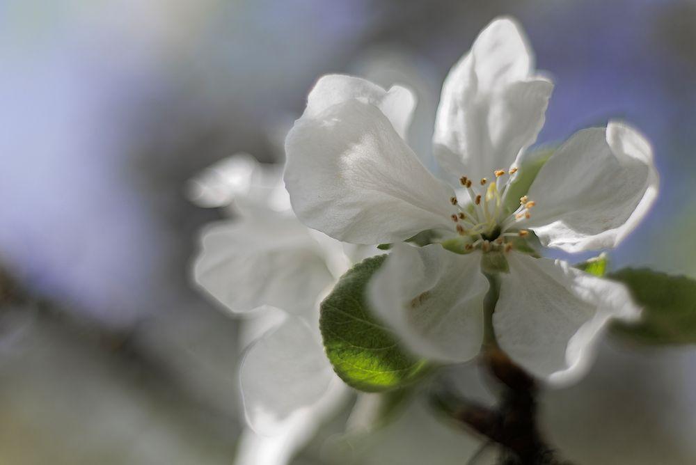 Apfelblüte ohne Rosa ....