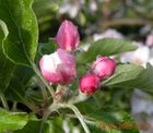 Apfelblüte taufrisch