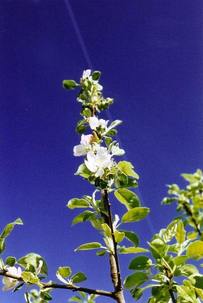 Apfelblüte#2