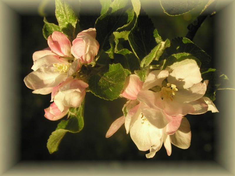 Apfelblüte2