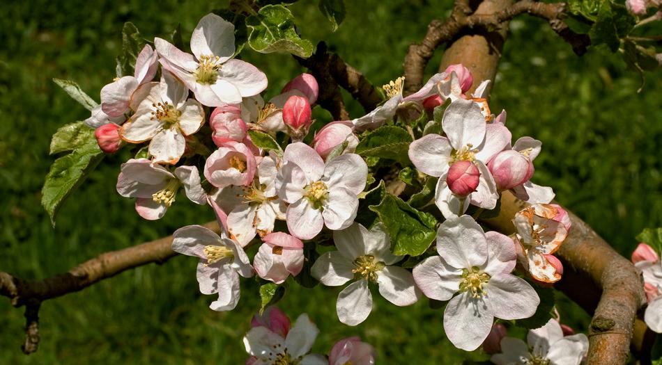 Apfelblüten auf der steirischen Apfelstraße!