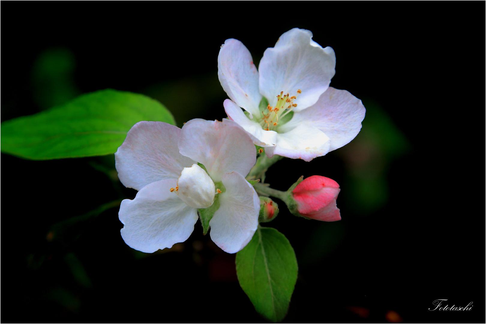 Apfelblüten, Der zweite Frühling :-)