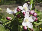 Apfelblüten II